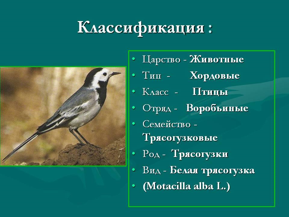 Motacilla alba L. Трясогузка белая символ птицы России 2011 года Кулакова Виктория,7 класс.